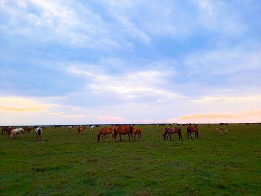 recive.ir | تصاویری دیدنی از اسبهای وحشی در پارک ملی بوجاق